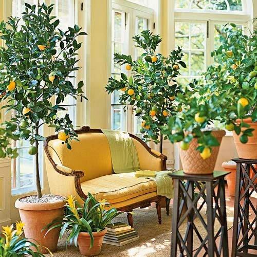 Гэртээ мандарин, лимон тарих арга